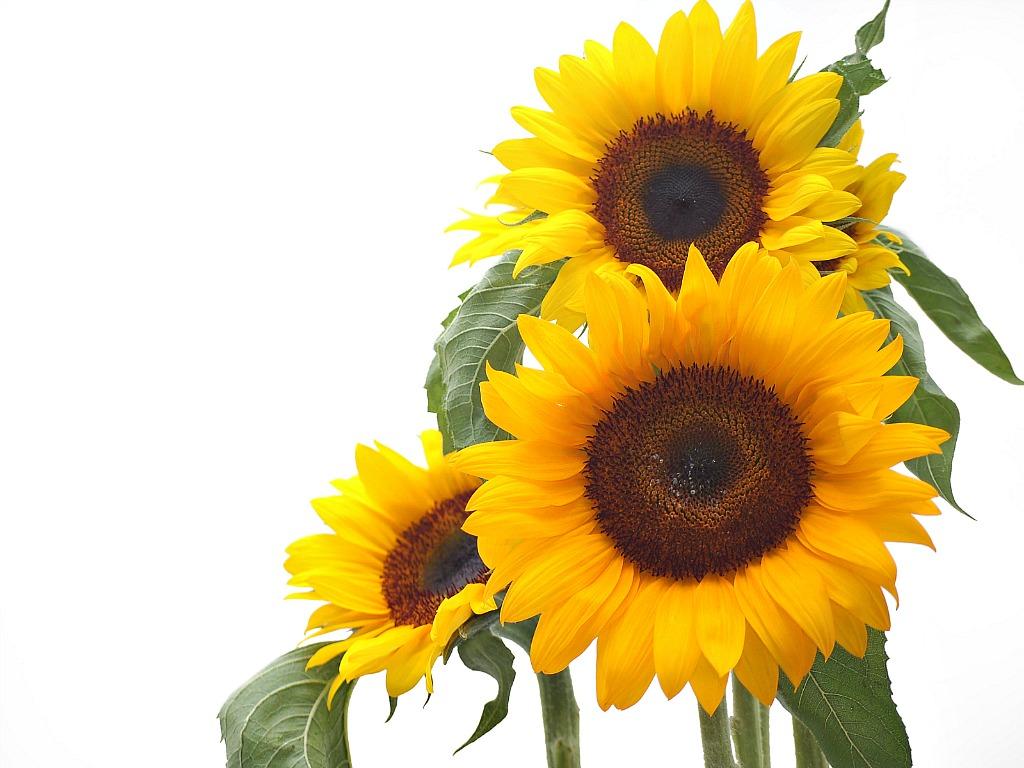Sunflower Background Wallpapersafari