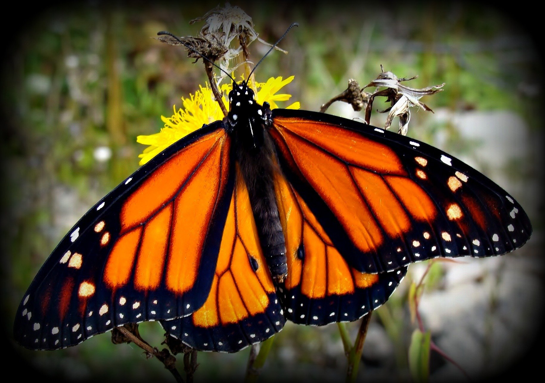 Monarch Butterfly wallpaper   ForWallpapercom 1829x1286