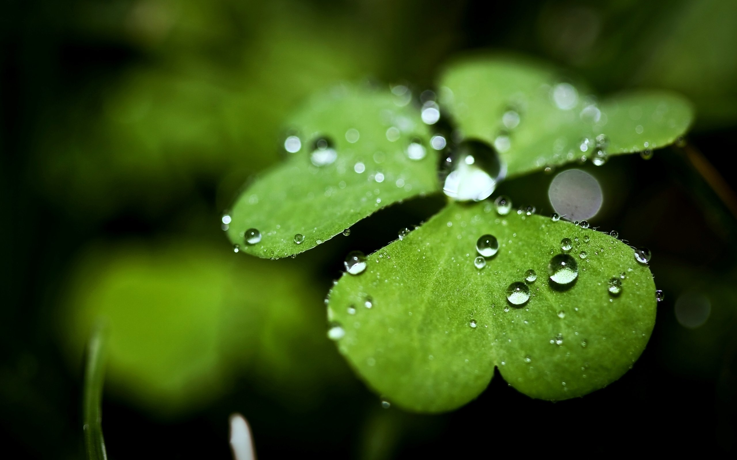 Rostock wallpaper clover drops of dew drops Wallpapers 3d for desktop 2560x1600