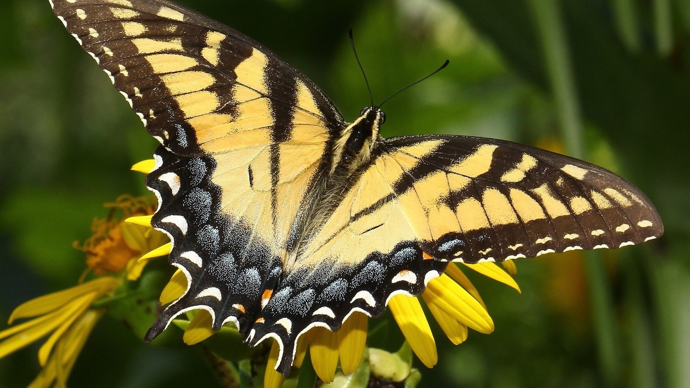 Download Yellow monarch butterfly wallpaper 1366x768