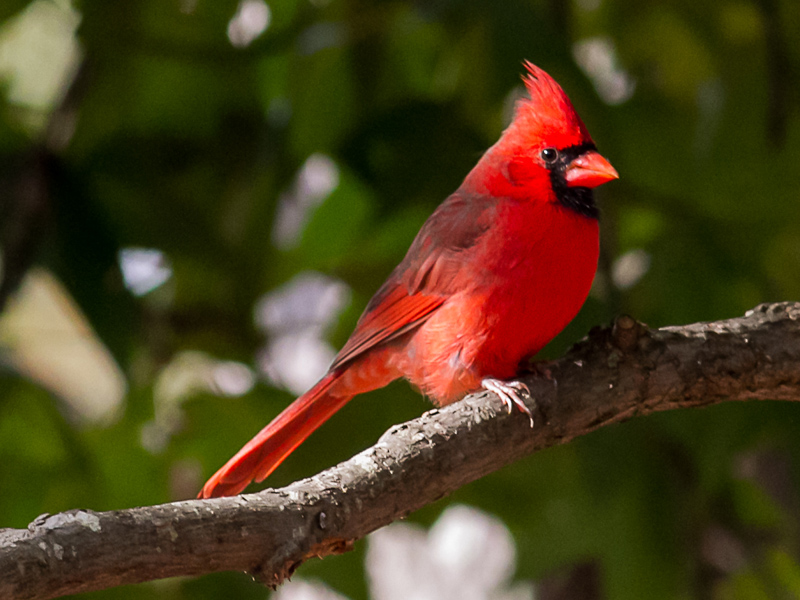 Northern Cardinal Screensaver Download Birds Cardinal Screensaver 800x600
