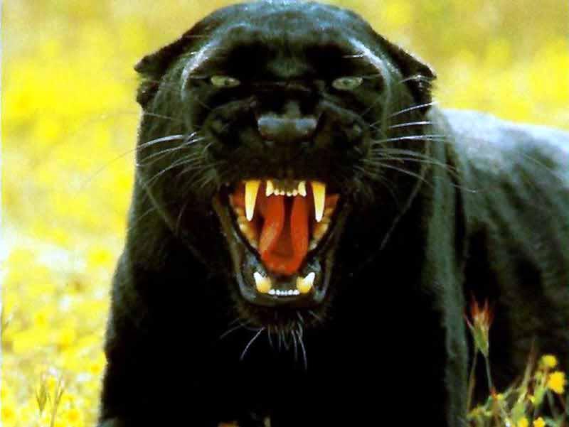 Black Panther HD Wallpapers C a r W a l l p a p e r 2014 800x601