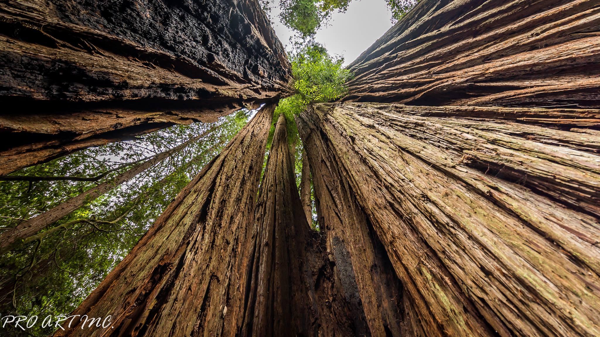 Tall Trees Grove Trail Redwood ProArtInc 2048x1152