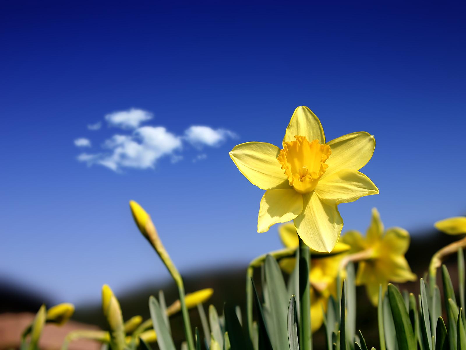 1600x1200 Beautiful daffodils desktop PC and Mac wallpaper 1600x1200