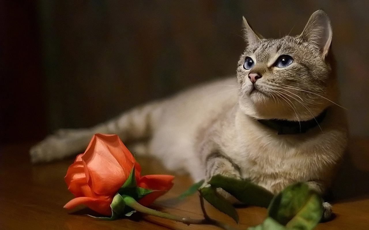 Beautiful Cat   Cats Wallpaper 16123426 1280x800