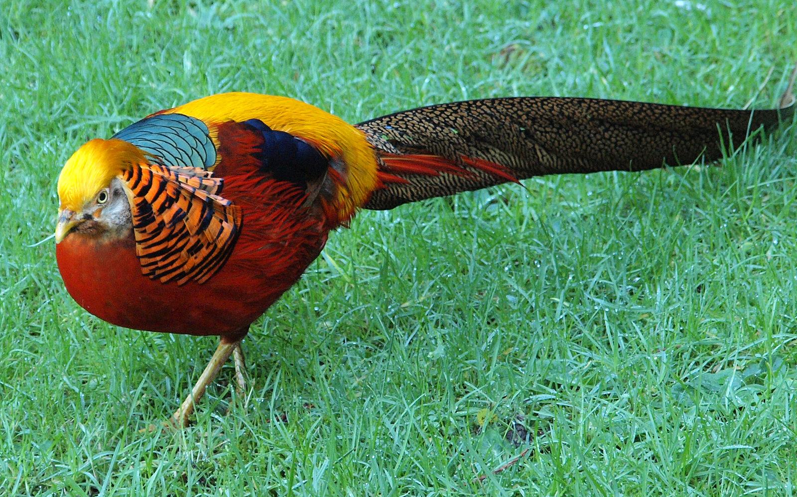 92 Golden Pheasant Wallpapers On Wallpapersafari