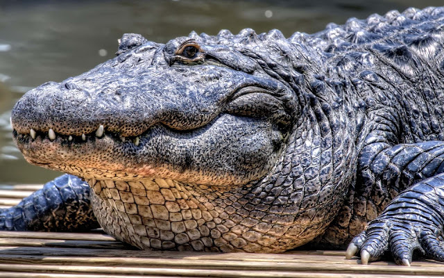 Wallpaper of a very large crocodile HD Animals Wallpapers 640x400