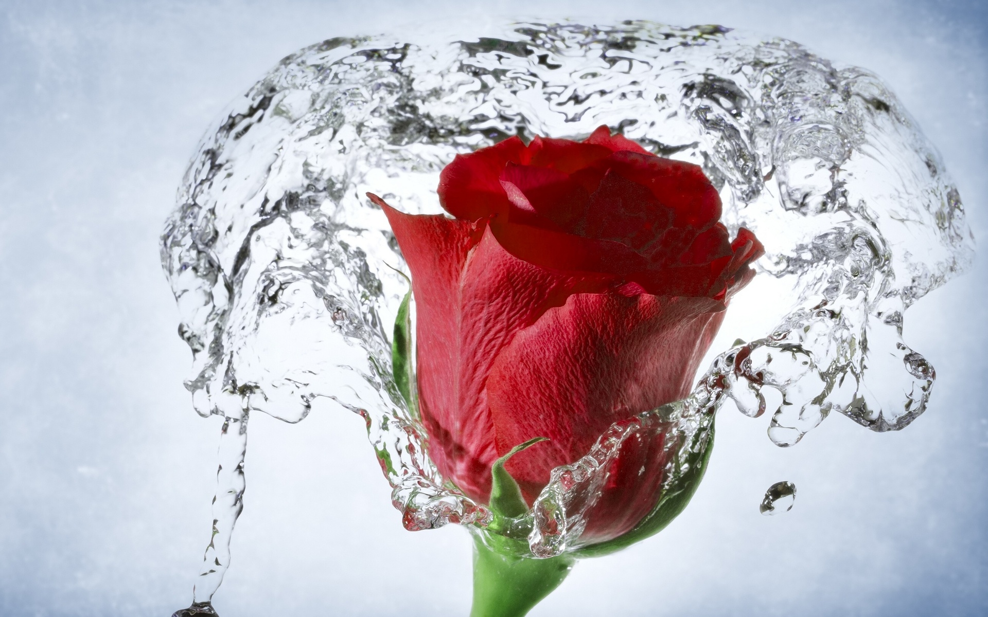 rose with water drops wallpaper - wallpapersafari