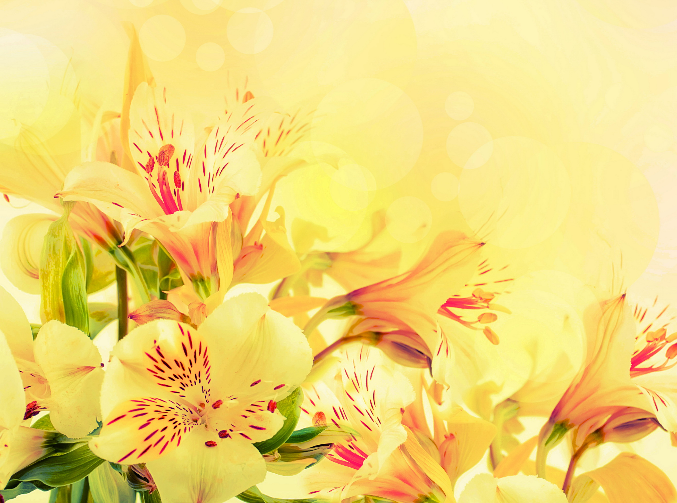 Free Download Alstroemeria Yellow Flowers Wallpaper Background