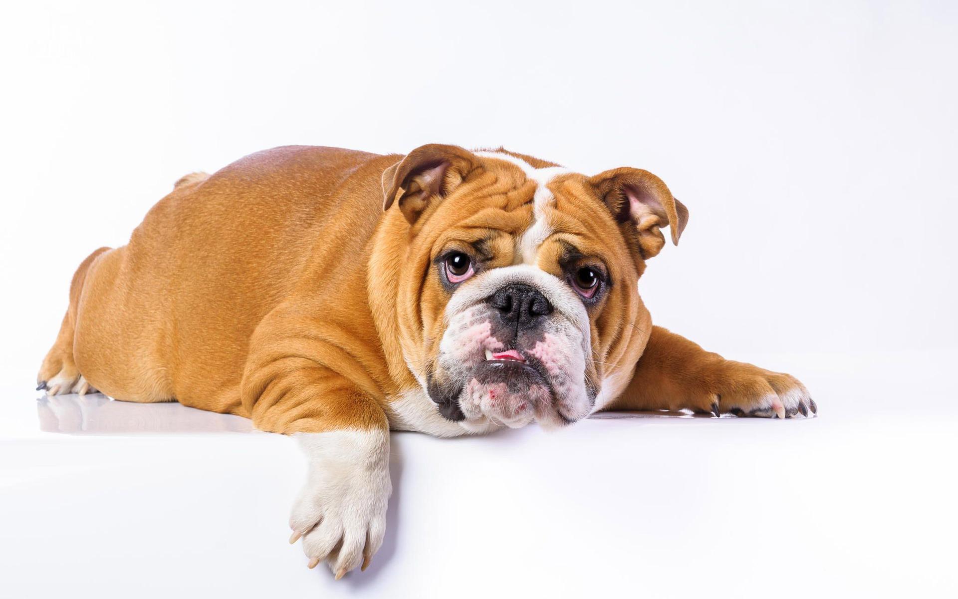 Cute english bulldog puppies wallpaper