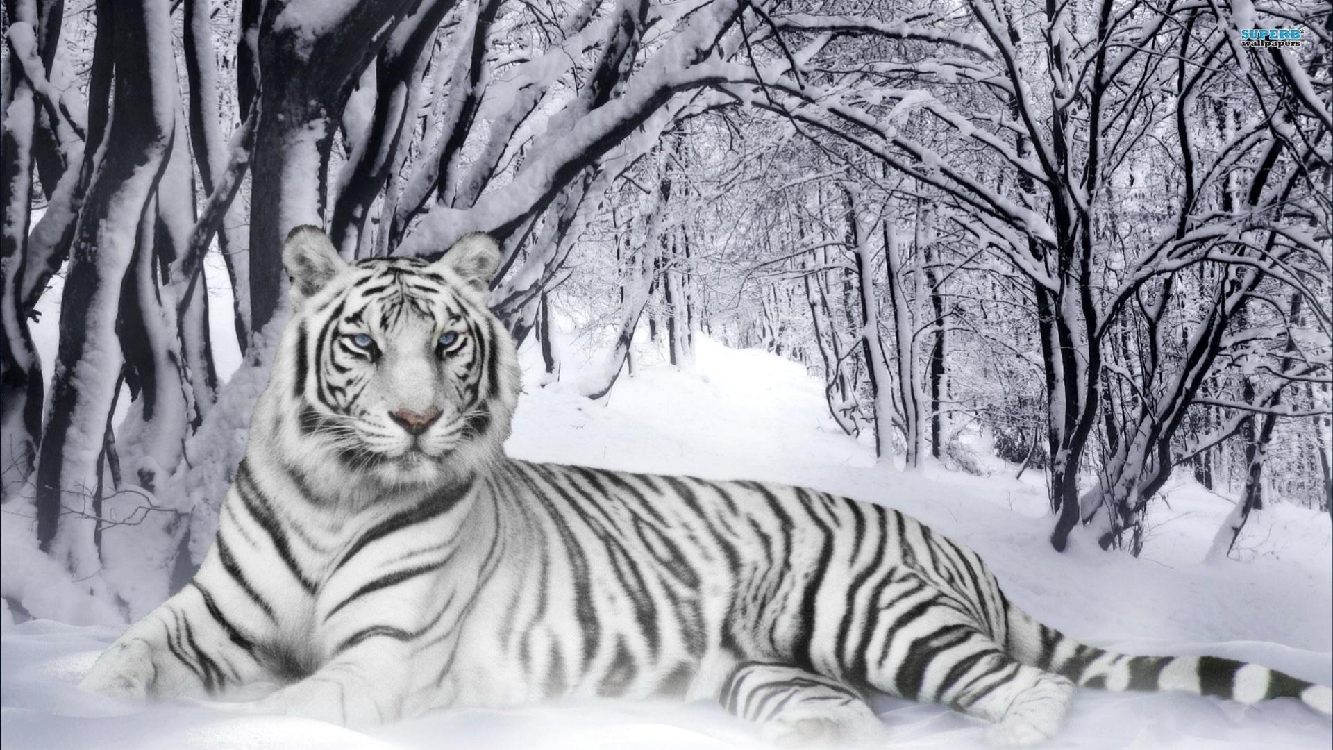 White Tiger Wallpaper Desktop Wallpaper 1920x1080