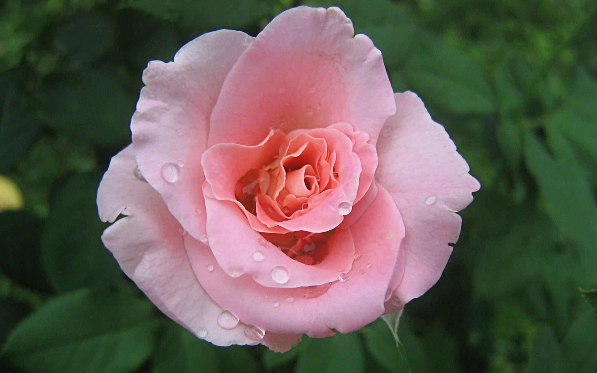 pink rose wallpaper 2996jpg 1920x1200