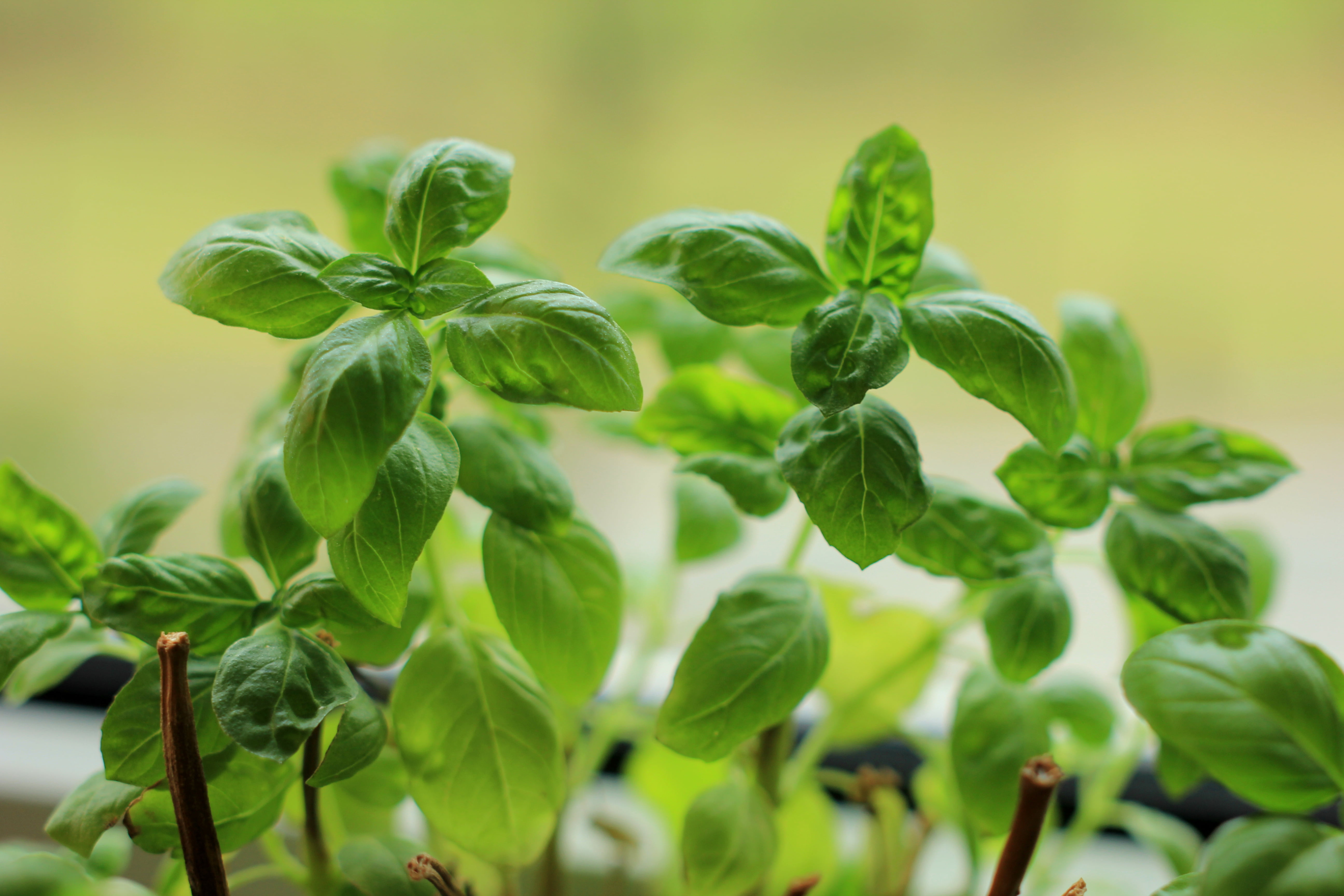 Shallow focus photo of green leaves plant basil HD wallpaper 5184x3456