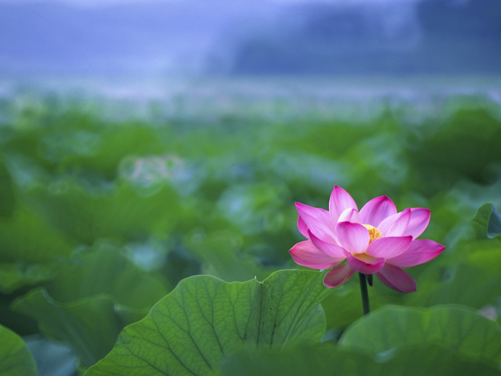 Download Lotus Flowers Wallpapers Hd Pictures One Hd Wallpaper