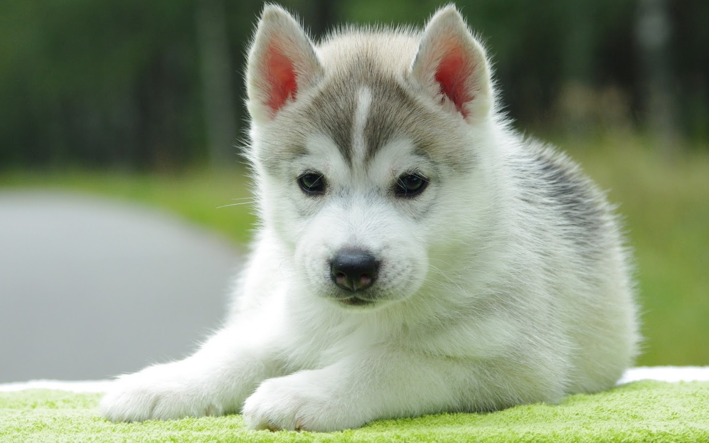 Previous Image Go back to Cute Puppy Wallpapers for Desktop Mobile 1440x900