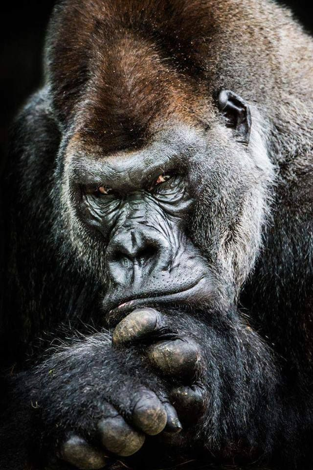 Pin by Matthew Boswell on primates Western lowland gorilla 640x960