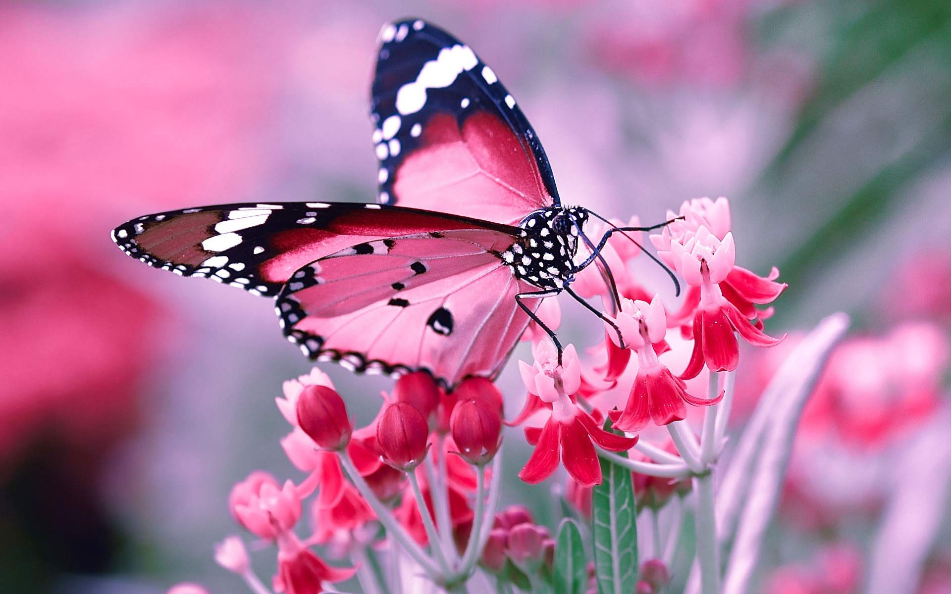 Pink Butterfly Wallpaper   35 Group Wallpapers 1920x1200
