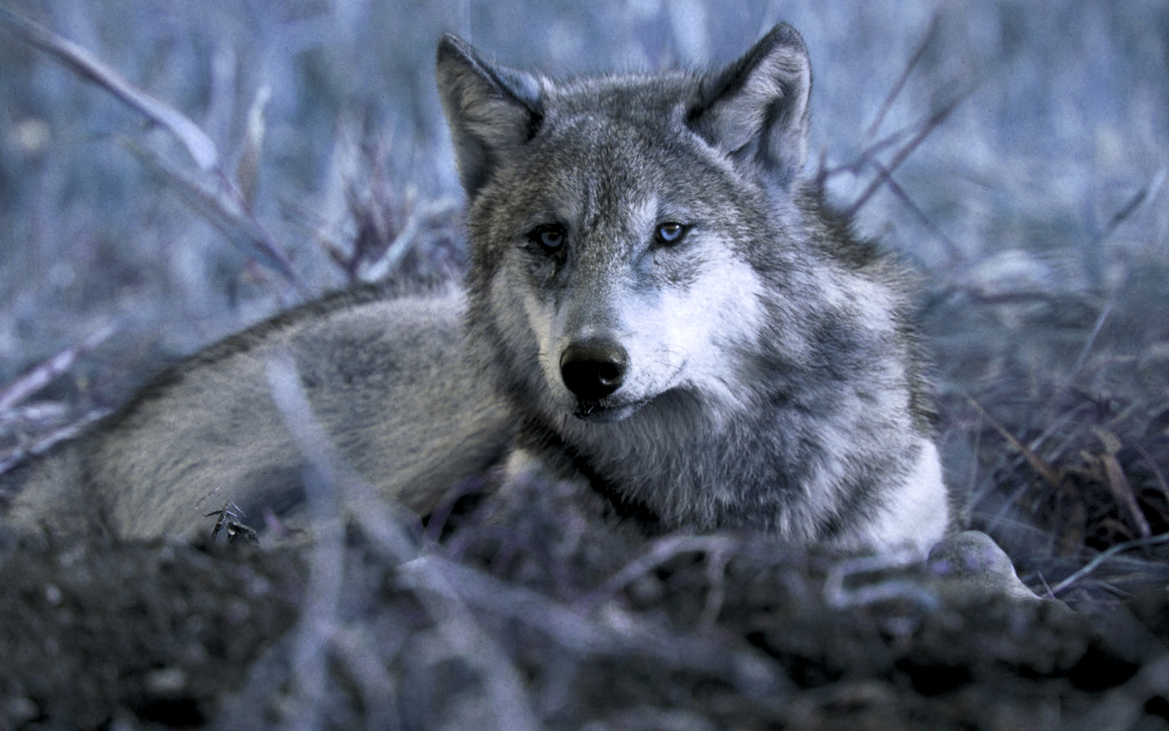 Homepage Wolf Gray Wolf Wallpapers 1920x1080 Best 1680x1050