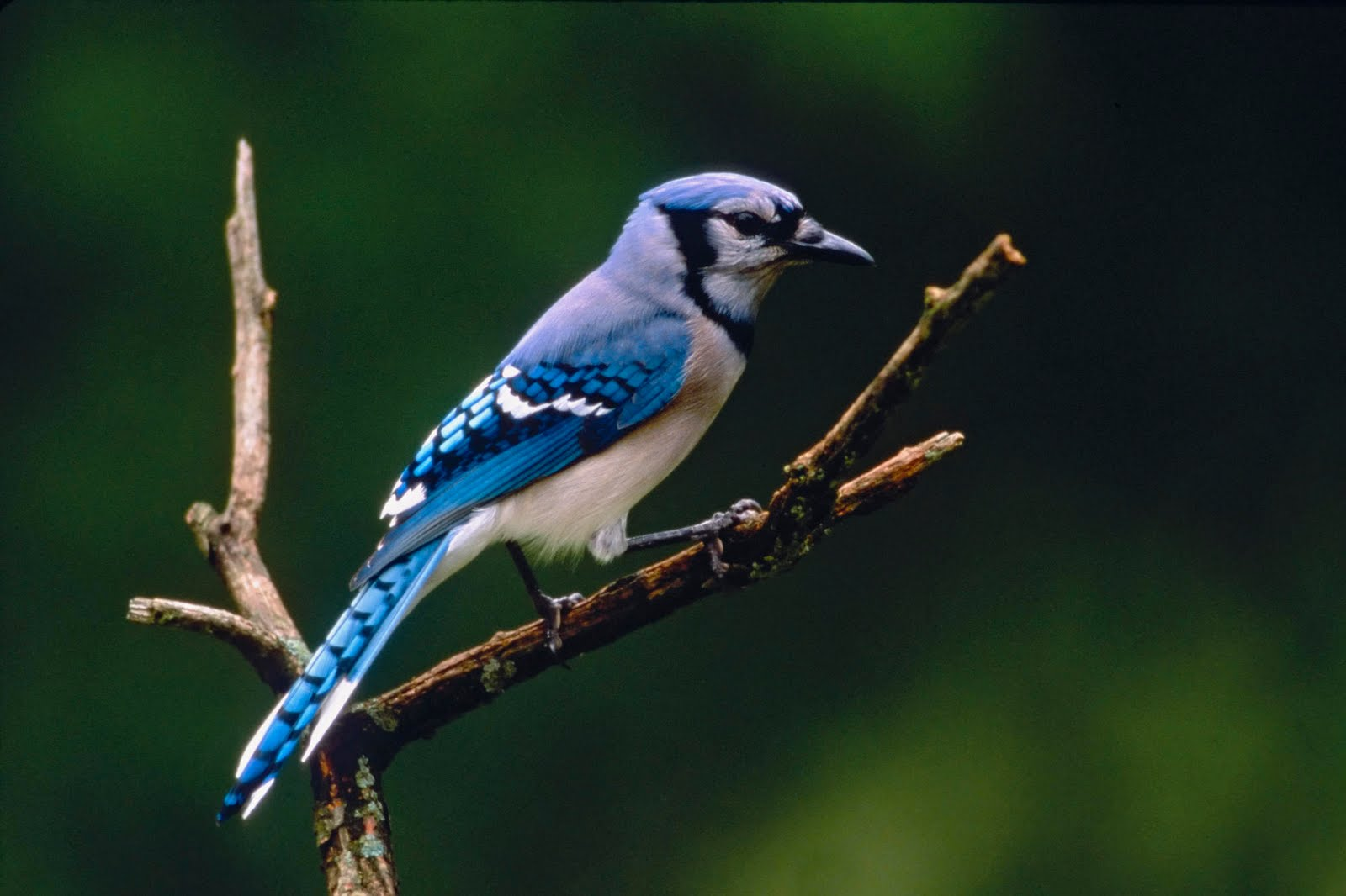 Wallpapers Blog blue jay background 1600x1066