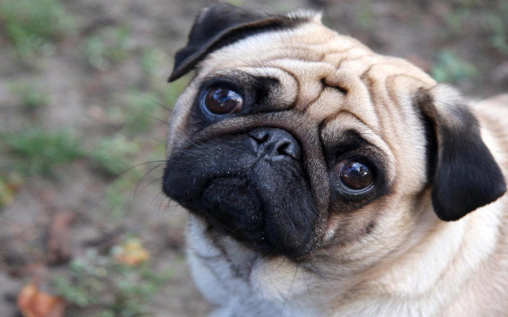 Cute Pug PhotosHD WallpapersImagesPictures 1920x1200