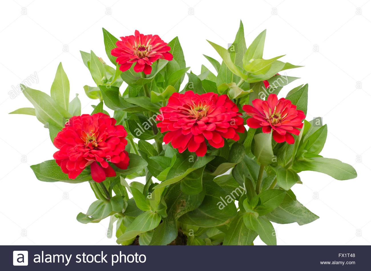 zinnia flower isolated on white background Stock Photo 102073784 1300x951