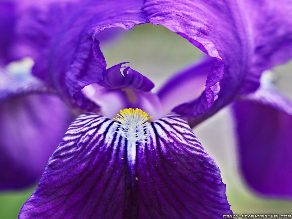 Big Purple Iris Flowers Purple Background Wallpapers here you can 1024x768