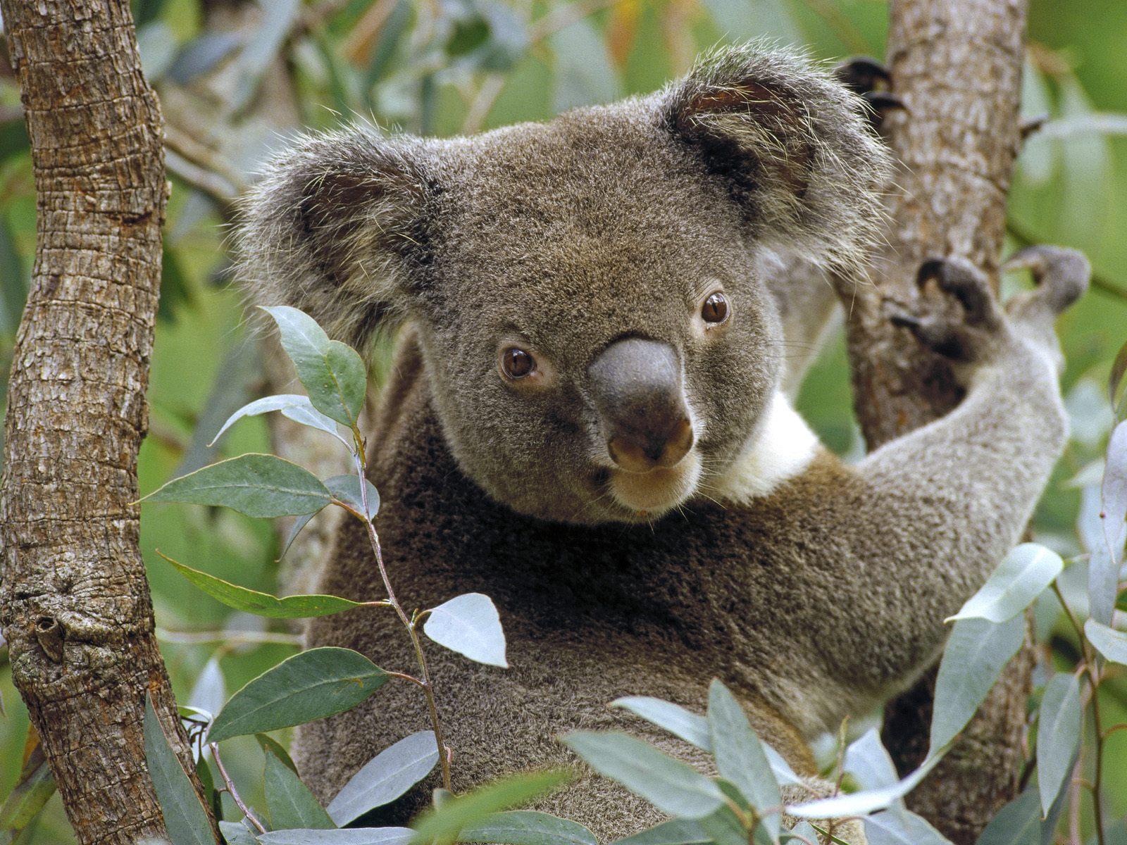 Koala in Eucalyptus Tree Australia   Australia Photography Desktop 1600x1200