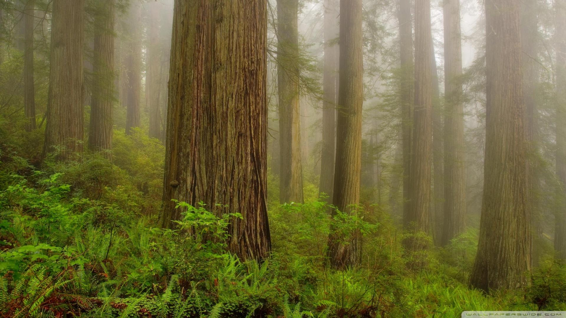 44] Redwoods Wallpaper on WallpaperSafari 1920x1080