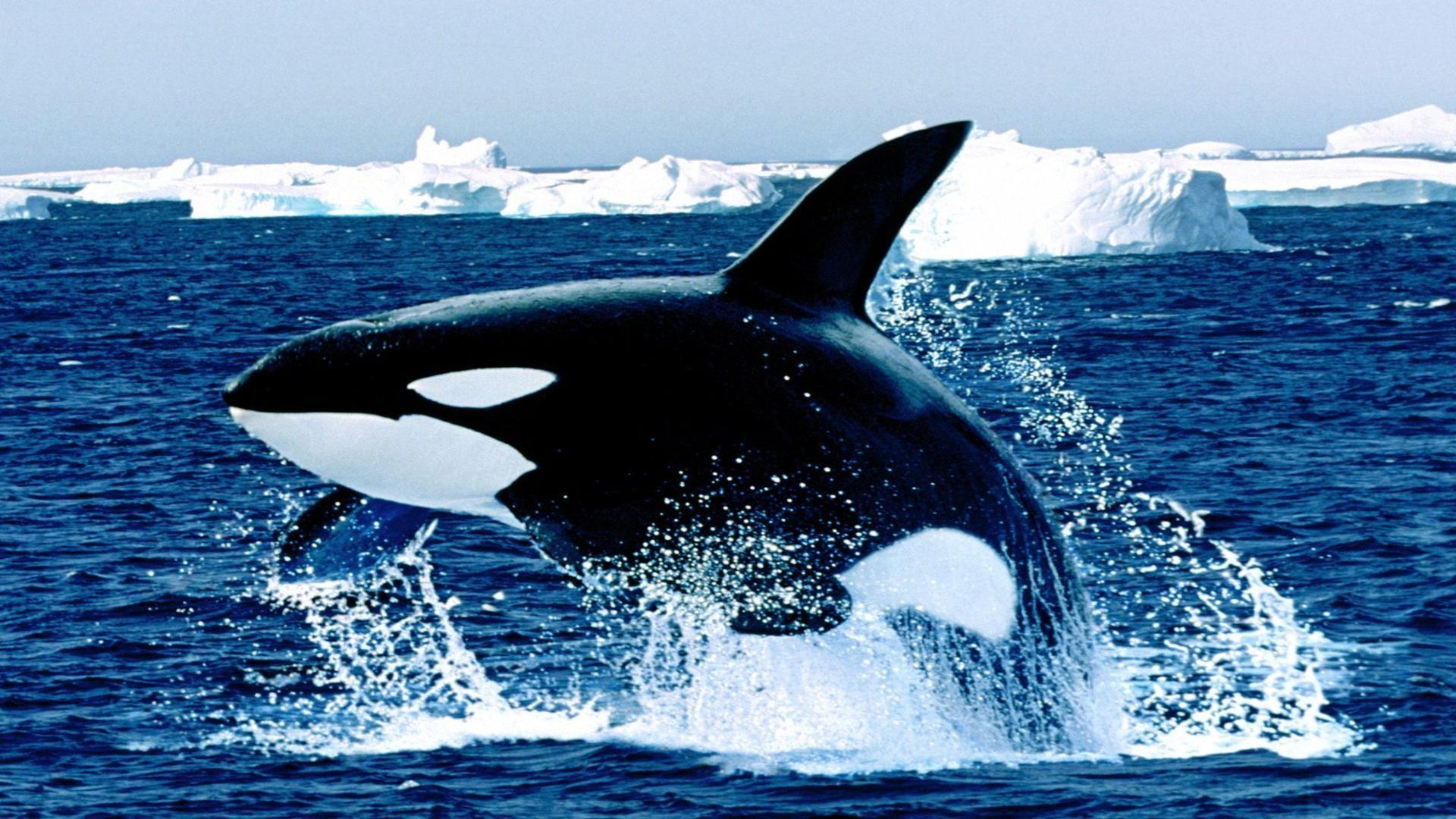 Orca Whale Wallpapers 1920x1080