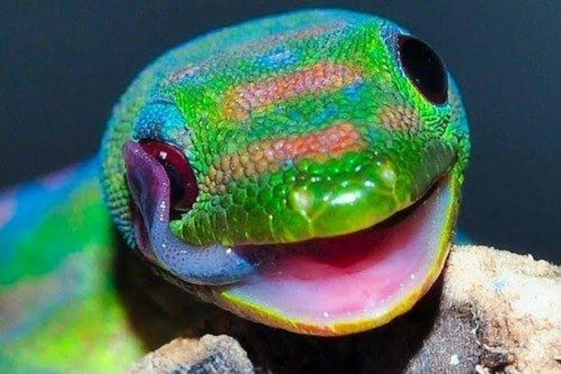 High resolution Very Colorful Gecko desktoplaptop wallpaper Listed 800x533