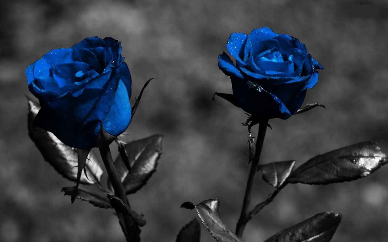 Free Download Download Blue Roses With Black Screen Wallpaper Full