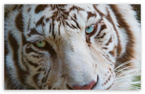 Angry Tiger Eyes Wallpapers Wallpapersafari