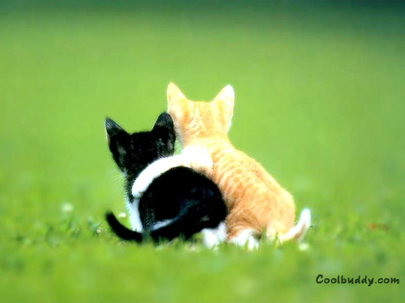 cat cute BFF Animals Cats HD Desktop Wallpaper 800x600