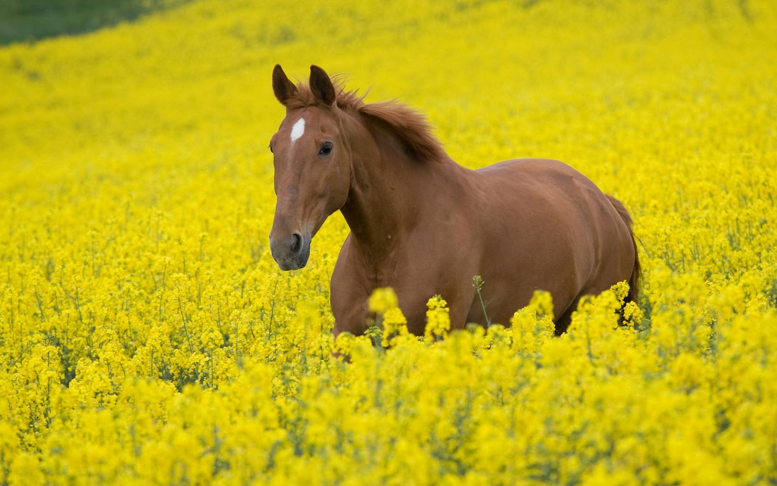 Brown Horse in Yellow Flowers Field HD Animal and Nature Wallpaper 1600x1000