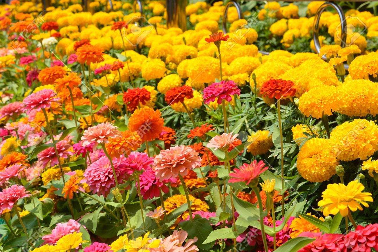 Flowers Zinnia Flowers Background Marigold Flowers Flowers 1300x866