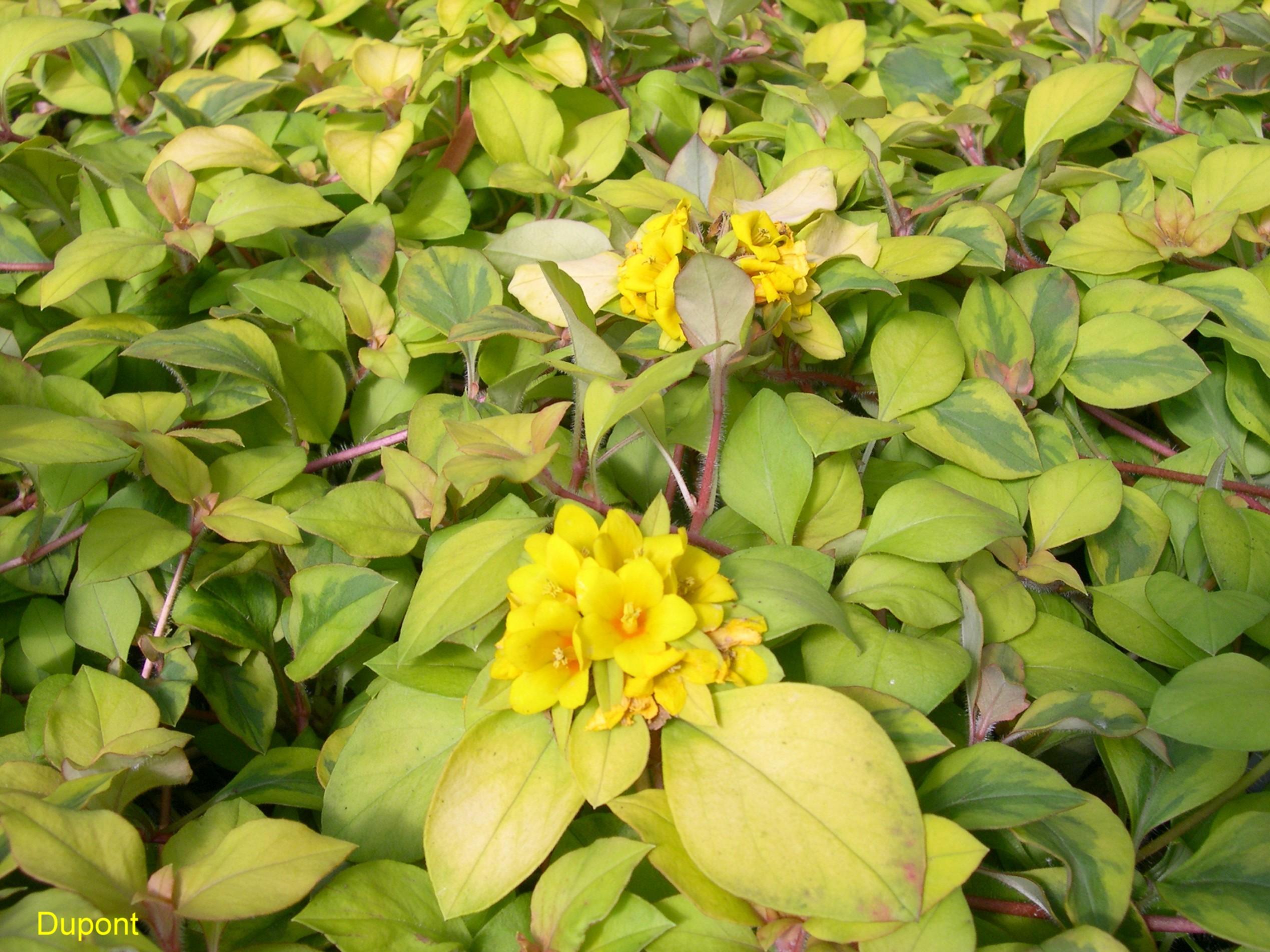 Lysimachia Aurea Lysimachia procumbens Aurea 2538x1904