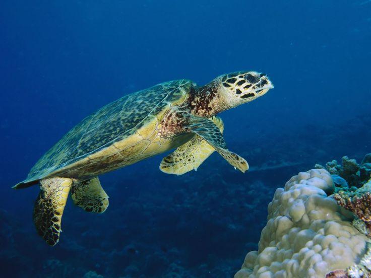 httpwwwhd wallpaperscomdownloadunderwater sea turtle 1600x1200 736x552