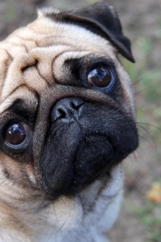 640x960 Cute Pug Iphone 4 wallpaper 640x960