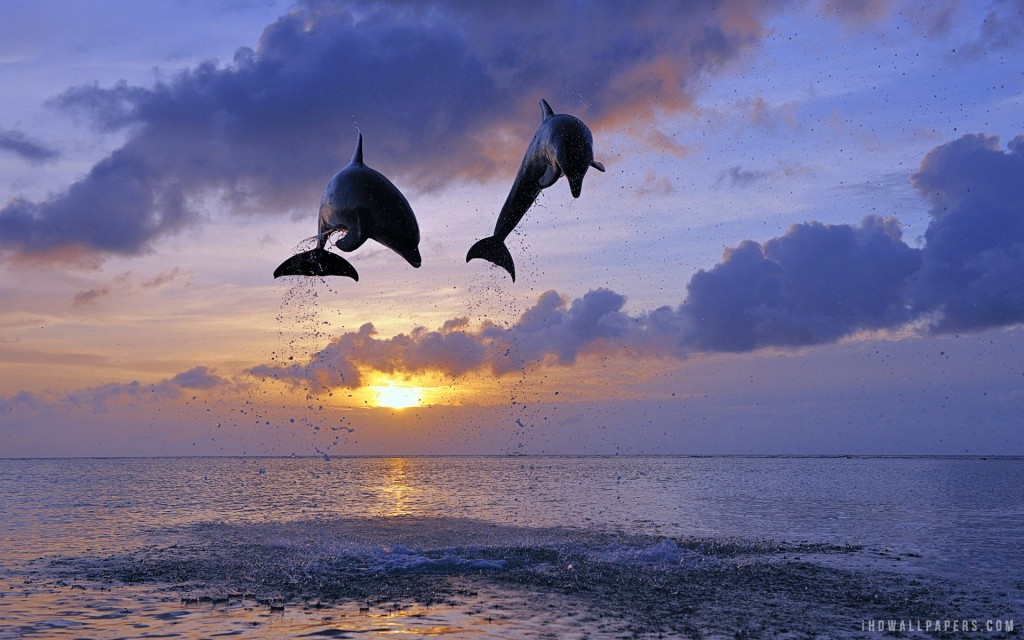 Dolphins Jumping HD Wallpaper Download HD Wallpapers 1024x640