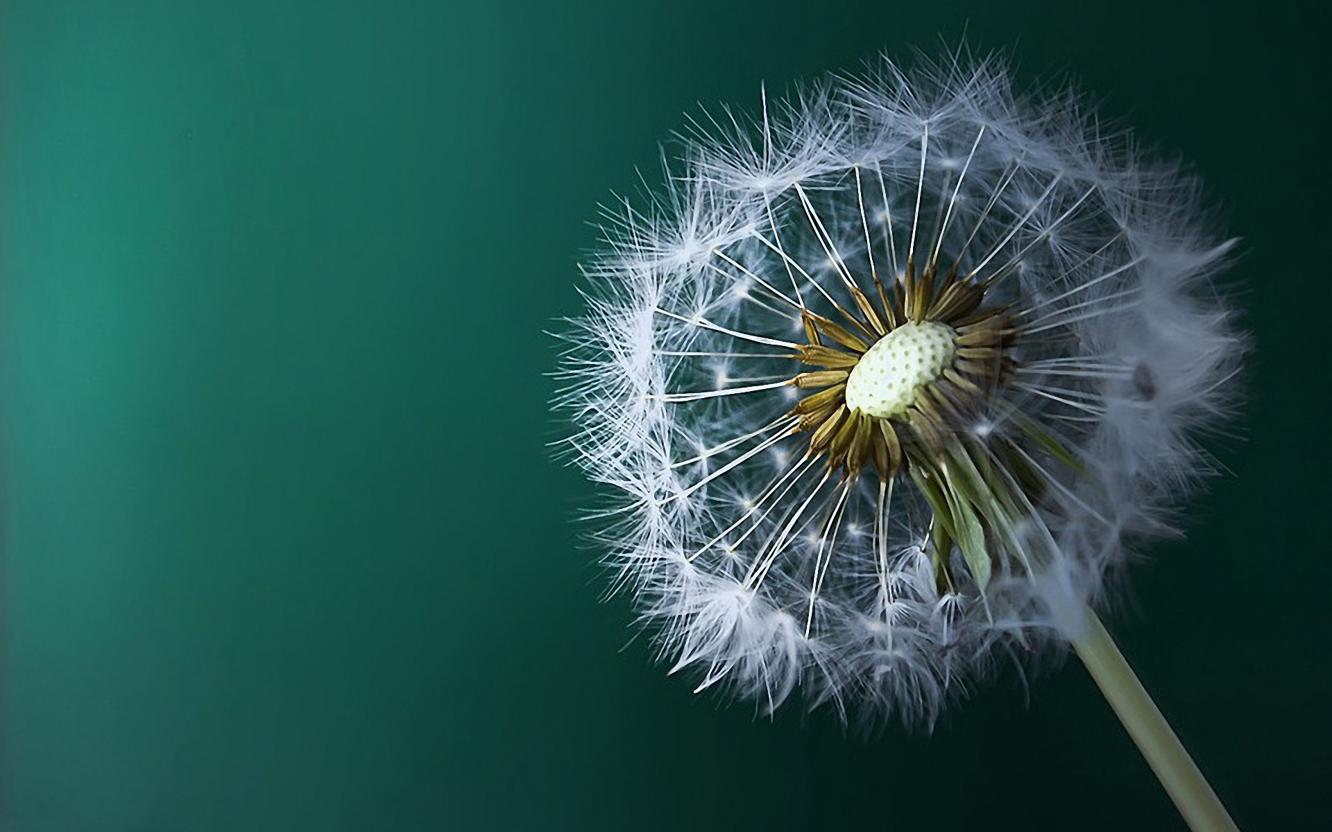 Dandelion Painting Macro Wallpaper HD Wallpaper with 1920x1200 ...