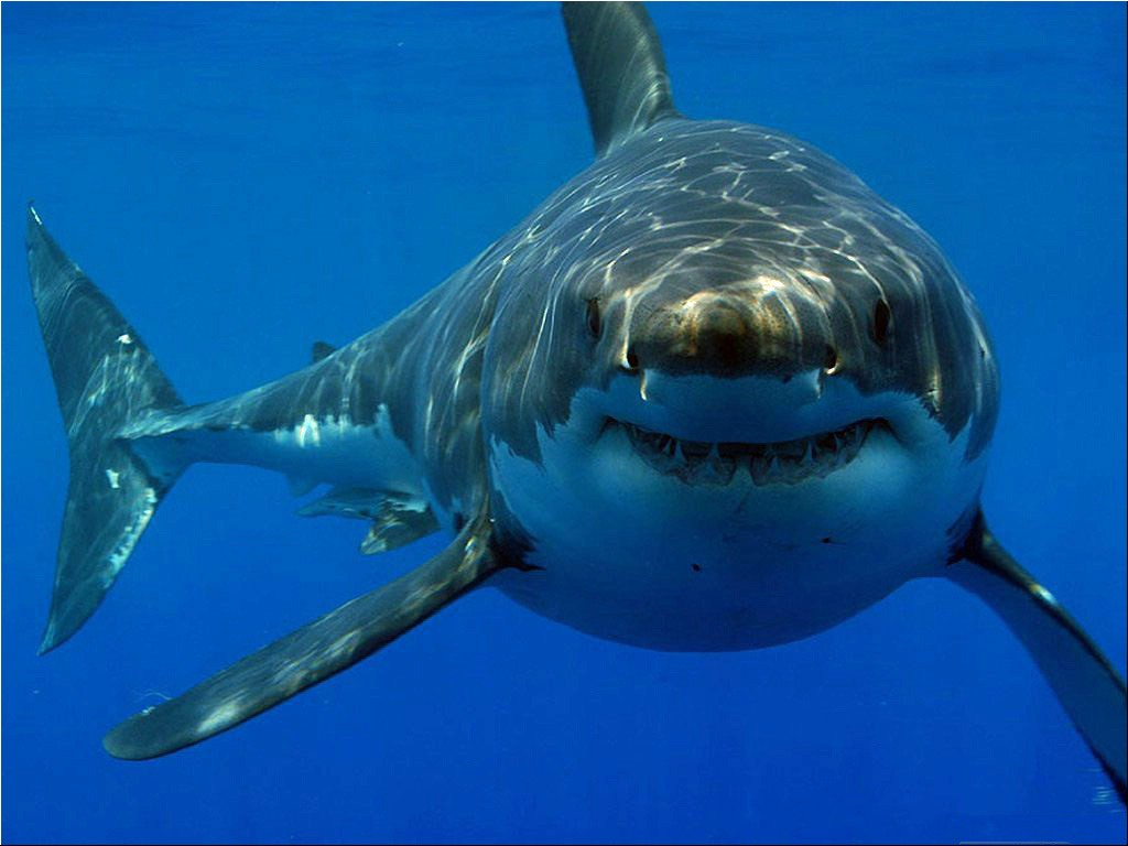 Free Download Great White Shark Hd Wallpapers Hd Wallpapers