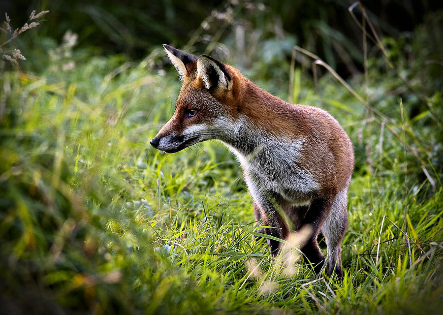 Red Fox Wallpaper Red Fox Hunting