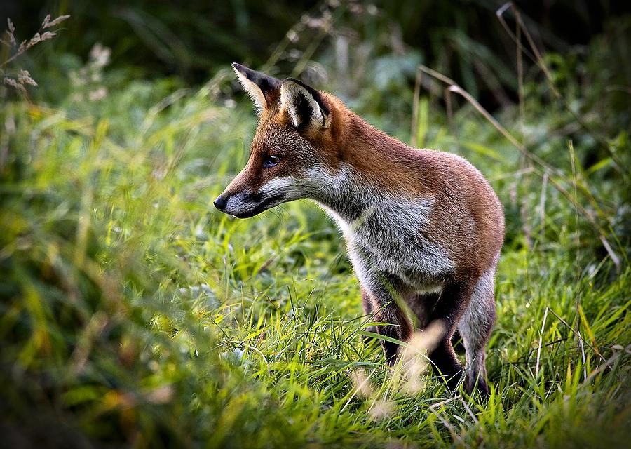 Red Fox Wallpaper Red Fox Hunting 900x640
