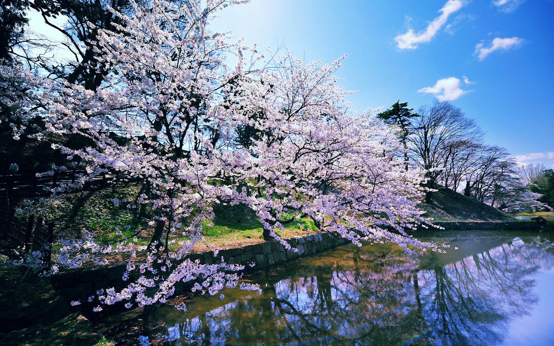 Wallpaper spring cherry blossoms a pond trees blossoms spring 1440x900