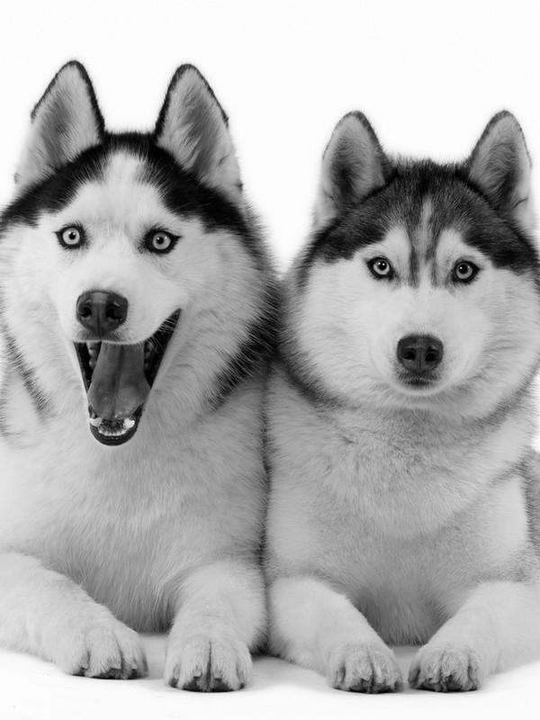 Siberian Husky Screensavers   Download   FunUtilitiescom   m5x 600x800