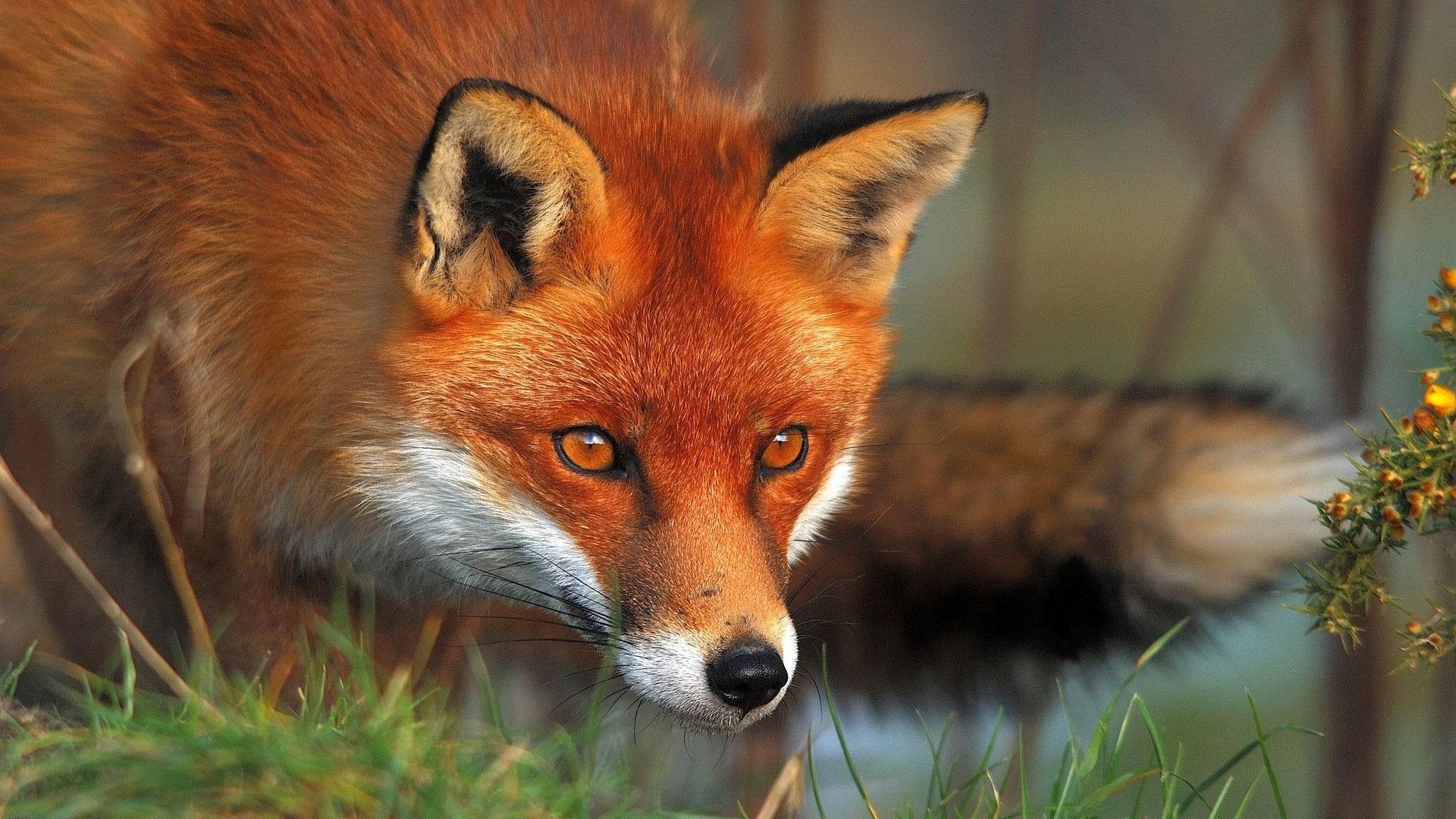 Fox HD Animal wallpaper HD Wallpaper Background Photo Picture 1920x1080