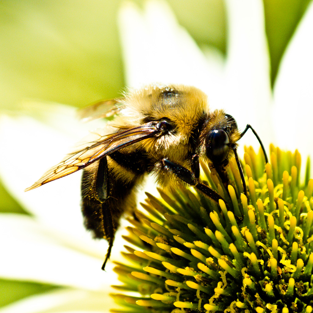 Bee iPad Wallpaper   Download iPad wallpapers backgrounds 1024x1024