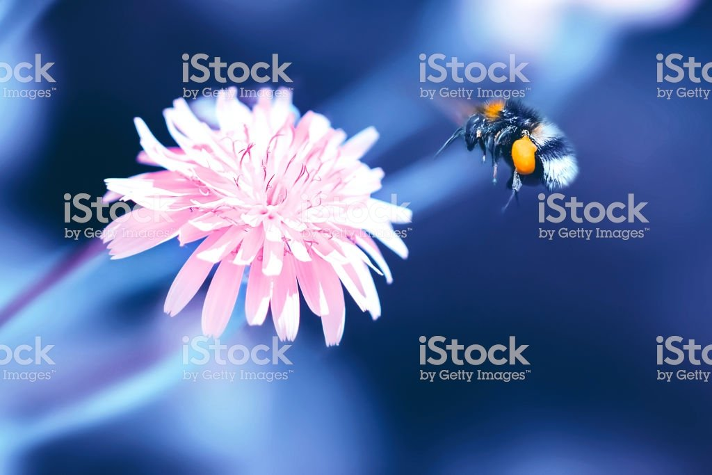 Amazing Artistic Natural Background Bumblebee Flying Over Fanta 1024x683