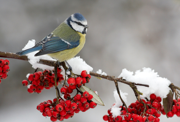 Wallpaper berry mountain ash snow branch bird winter desktop 590x400