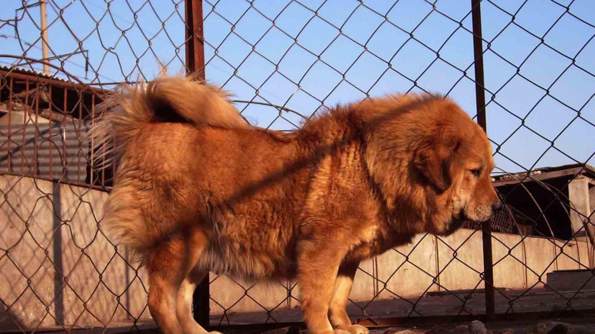 Tibetan Mastiff Wallpapers Download Desktop Wallpaper Images 1920x1080